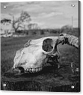 Goat Skull Acrylic Print