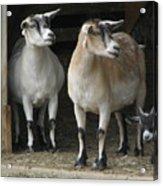 Goat Trio Acrylic Print