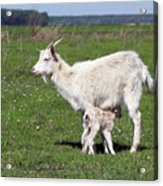Goat With Just Born Little Goat Spring Scene Acrylic Print