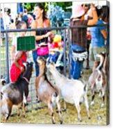 Goats At County Fair Acrylic Print