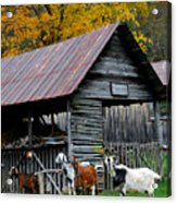 Goats At Rose Briar Farm Acrylic Print