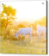 Goats Grazing In Field Acrylic Print