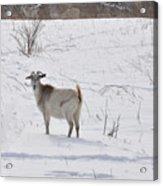 Goats In Snow Acrylic Print