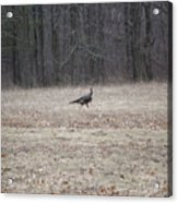 Gobbler Running Across The Field Acrylic Print
