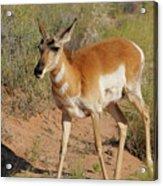 Goblin Antelope Acrylic Print