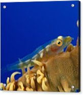 Goby On Wire Coral Acrylic Print