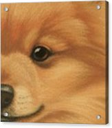 Goggie Pomeranian Acrylic Print