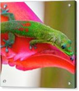 Gold Dust Day Gecko 3 Acrylic Print