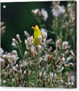 Gold Finches-12 Acrylic Print