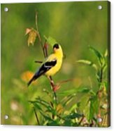 Gold Finches-2 Acrylic Print
