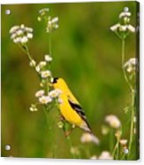 Gold Finches-3 Acrylic Print