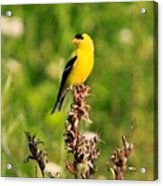 Gold Finches-4 Acrylic Print