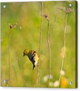 Gold Finches-5 Acrylic Print