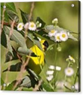 Gold Finches-7 Acrylic Print