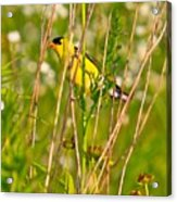 Gold Finches-8 Acrylic Print