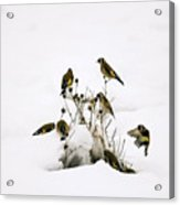 Gold Finches In Snow Acrylic Print