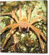 Gold Hunting Spider Acrylic Print