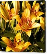 Gold Lilly Acrylic Print
