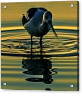 Gold Pond Avocet Acrylic Print