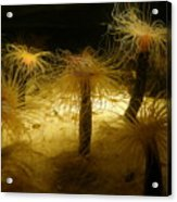 Gold Sea Anemones Acrylic Print