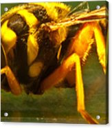 Gold Syrphid Fly Acrylic Print