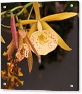 Gold Yellow Orchid  Acrylic Print