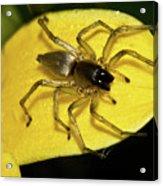 Golden Arachnid  Acrylic Print