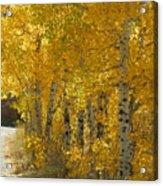 Golden Aspen Acrylic Print