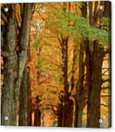 Golden Avenue Acrylic Print