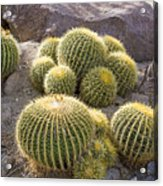 Golden Barrel Cactus Acrylic Print