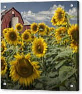 Golden Blooming Sunflowers With Red Barn Acrylic Print