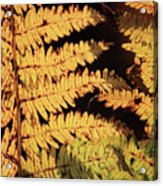 Golden Bracken Acrylic Print