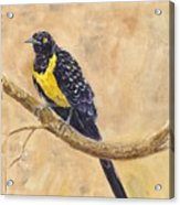 Golden Breasted Starling Acrylic Print