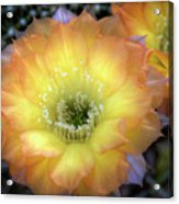 Golden Cactus Bloom Acrylic Print