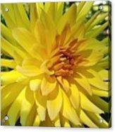Golden Dahlia Beauty Acrylic Print
