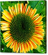 Golden Cone Flower Acrylic Print