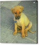 Golden Cunucu Puppy In Aruba Acrylic Print