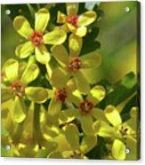 Golden Currant Blossoms Acrylic Print