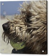 Golden Doodle And His Ball Acrylic Print