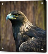 Golden Eagle 5 Acrylic Print