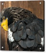 Golden Eagle Cleans Its Feathers Acrylic Print