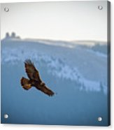 Golden Eagle Fly By Acrylic Print