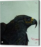 Golden Eagle- Head Study Acrylic Print