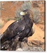 Golden Eagle On Rabbit Acrylic Print