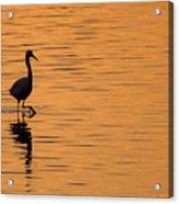 Golden Egret Acrylic Print