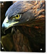 Golden Eye Acrylic Print