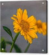 Golden Flower II Acrylic Print