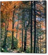 Golden Forest Path Acrylic Print
