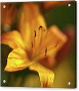 Golden Gazer Acrylic Print