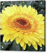 Golden Gerbera Daisy Acrylic Print